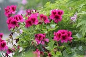 rose pelargoniums<br>scented leaves