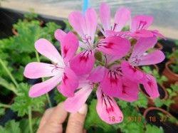 scented pelargonium pink capricorn scented geranium