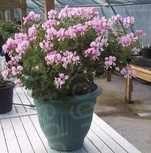 scented pelargonium birdbush bobby scented geraniums plants