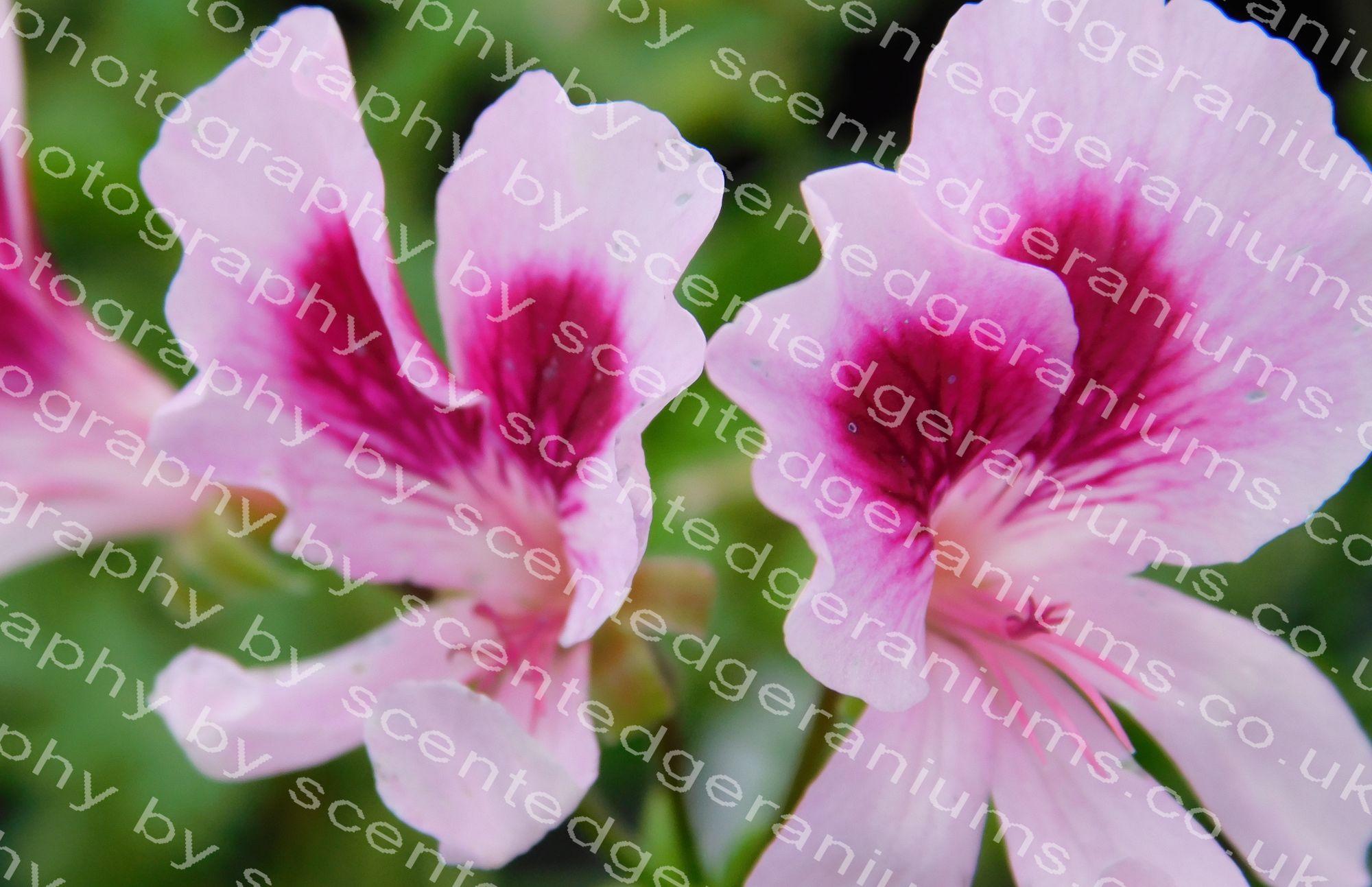 scented pelargonium solferino