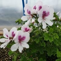 <!-- 622 -->imperial butterfly scented leaf pelargonium