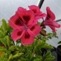 <!-- 210 -->brunswick scented leaf pelargonium