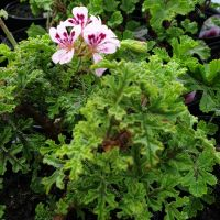 deans delight  oak scented leaf pelargonium