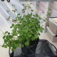 fragrans scented leaf pelargonium