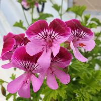 <!-- 540 -->gemstone scented leaf pelargonium
