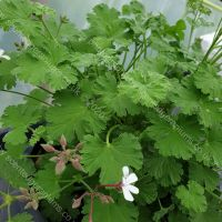 fringed apple scented leaf pelargonium
