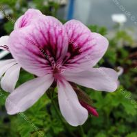lady scarborough scented leaf pelargonium