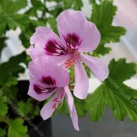 frensham scented leaf pelargonium