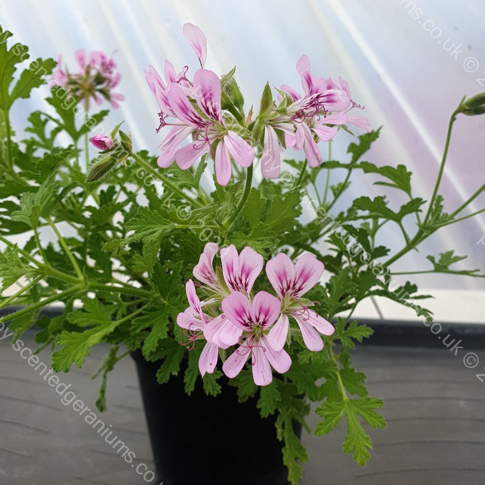 little gem scented leaf pelargonium