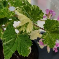 charmay snowflurry scented leaf pelargonium