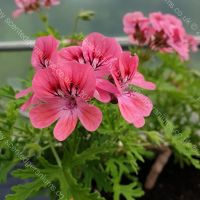 <!-- 680 -->lara starshine scented leaf pelargonium