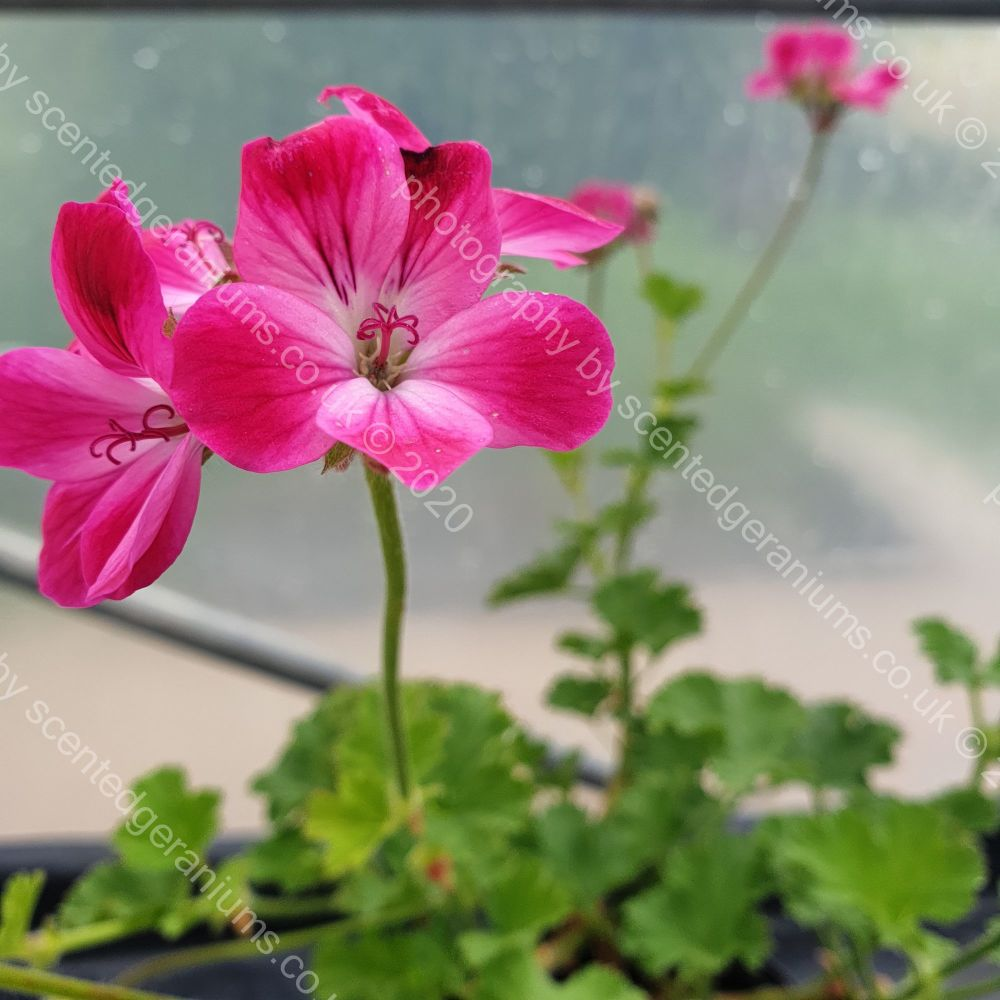 <!-- 195 -->brilliant scented leaf pelargonium