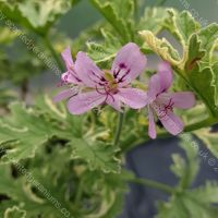 <!-- 640 -->lady plymouth scented leaf pelargonium