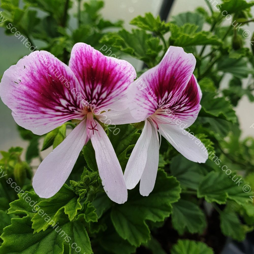 rose bengal scented leaf pelargonium