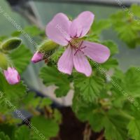 attar of roses scented leaf pelargonium