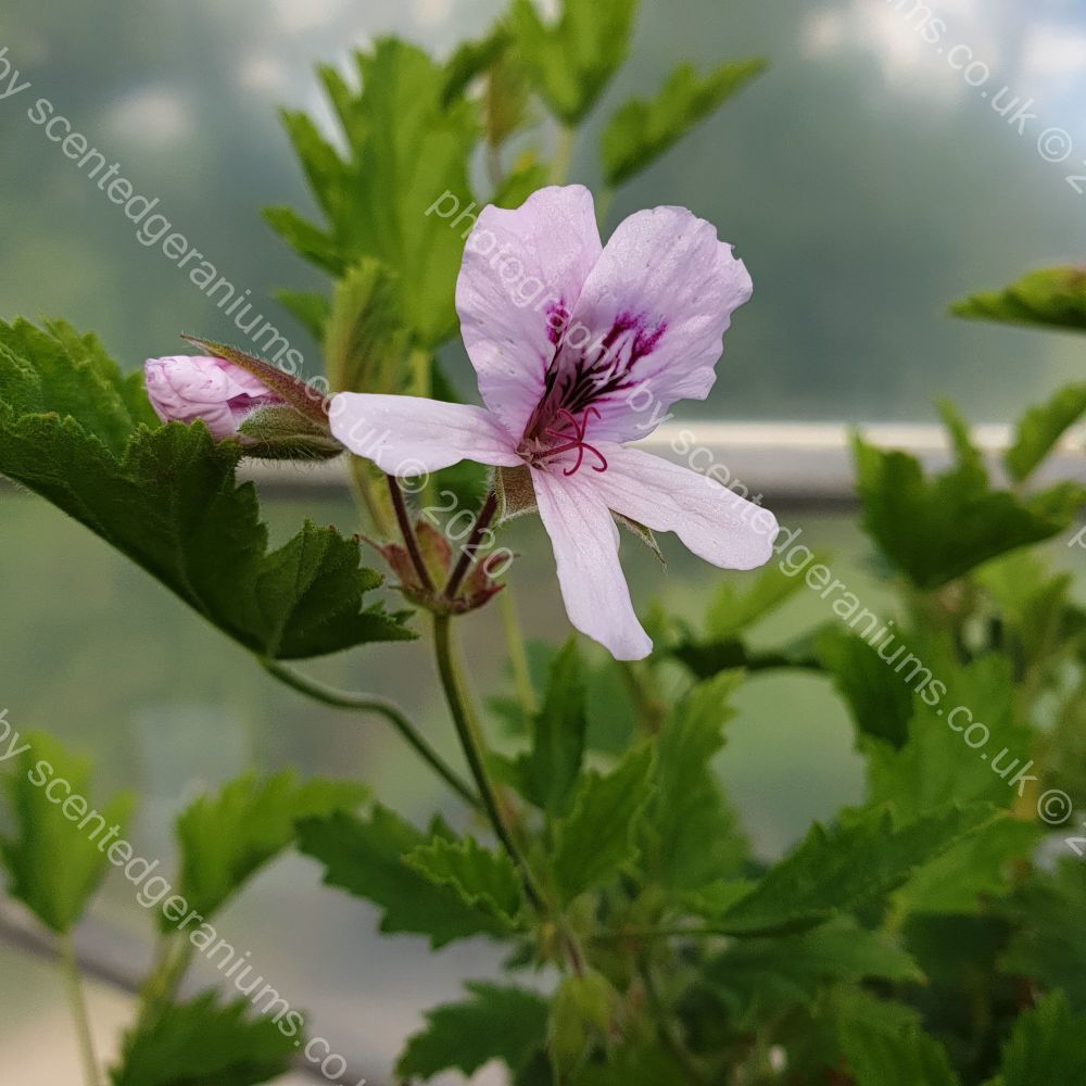 <!-- 410 -->ella scented leaf pelargonium