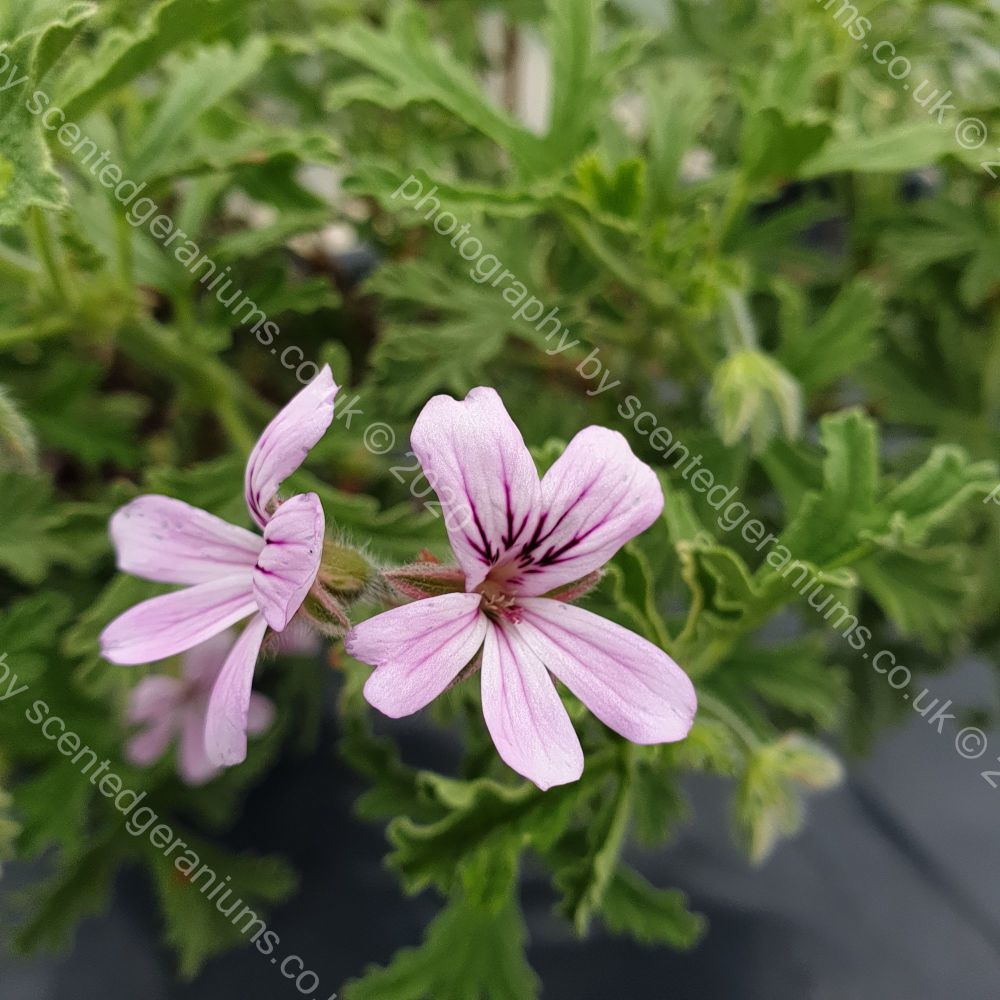 grey lady plymouth scented leaf pelargonium