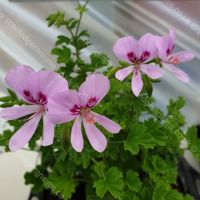 <!-- 110 -->birdbush julie anne scented leaf pelargonium