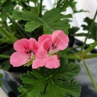 <!-- 160 -->birdbush pink and perky scented leaf pelargonium