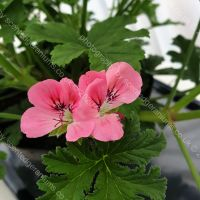 birdbush pink and perky scented leaf pelargonium