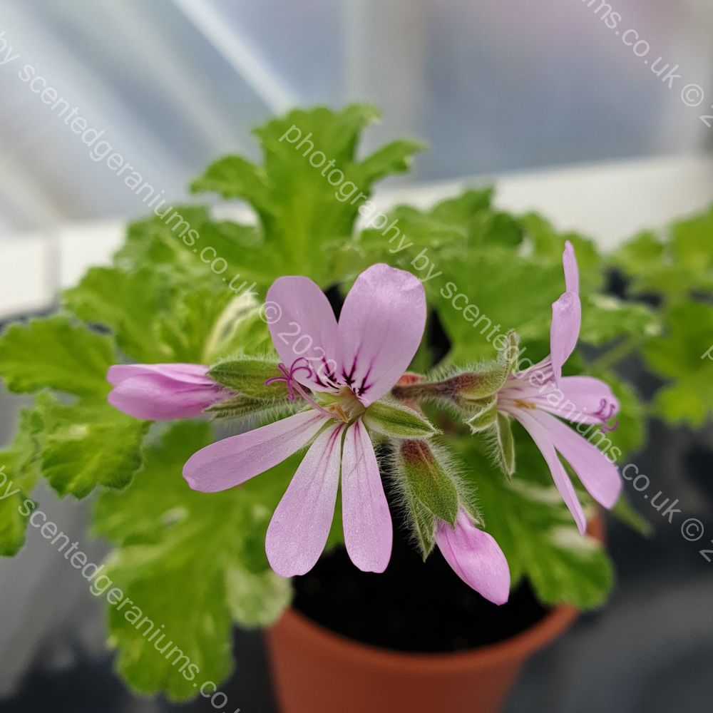 boths snowflake scented leaf pelargonium