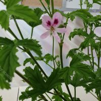 <!-- 720 -->lemon kiss scented leaf pelargonium