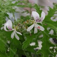 peppermint lace scented leaf pelargonium