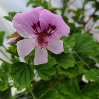 peters luck scented leaf pelargonium