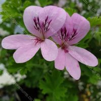 prince of orange scented leaf pelargonium