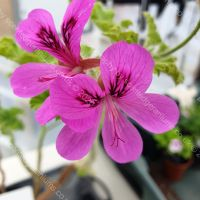 purple unique scented leaf pelargonium