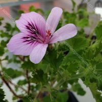 citriodorum scented leaf pelargonium