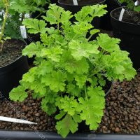 <!-- 300 -->concolor lace scented leaf pelargonium