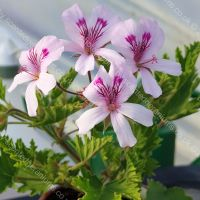 great glensham lemon scented leaf pelargonium