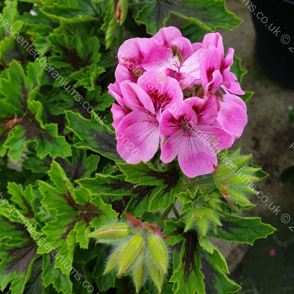 <!-- 610 -->hemley scented leaf pelargonium