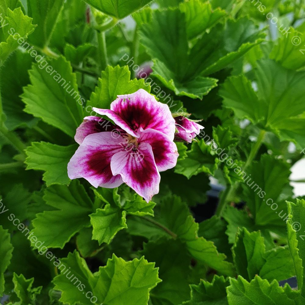 <!-- 755 -->needham market scented leaf pelargonium