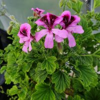 <!-- 790 -->orange fizz scented leaf pelargonium