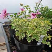 annsbrook beauty scented leaf pelargonium