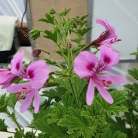 citronella scented leaf pelargonium