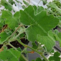 <!-- 965 -->tomentosum peppermint scented leaf pelargonium