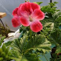 madame august nonin scented leaf pelargonium