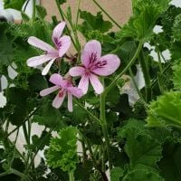 <!-- 290 -->cola bottles scented leaf pelargonium
