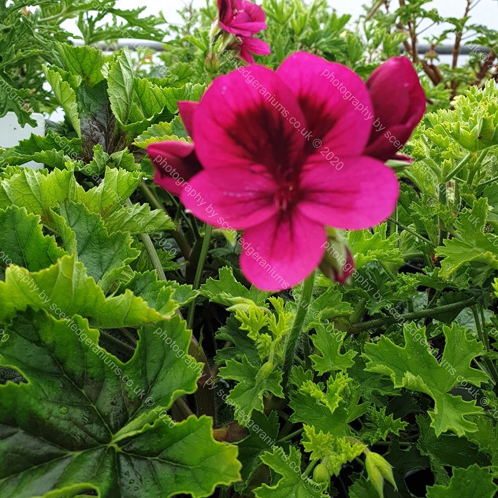 Pelargonium ashby scented leaf