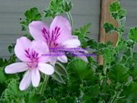 ginger scented leaf pelargonium