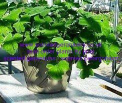 tomentosum peppermint scented pelargonium 5
