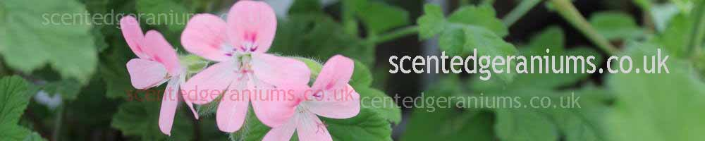 www.scentedgeraniums.co.uk, site logo.