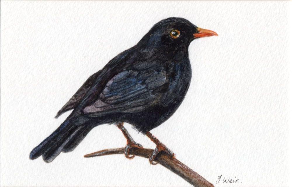 Blackbird Singing, Original Watercolour.