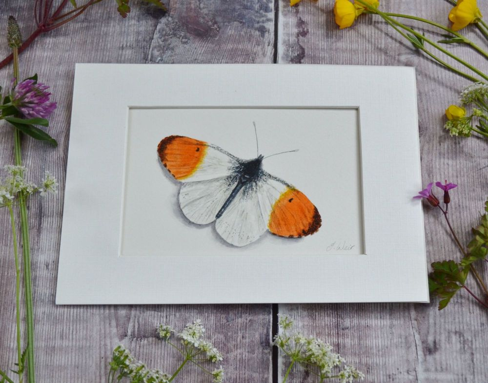 Orange Tip Butterfly, Original Watercolour.