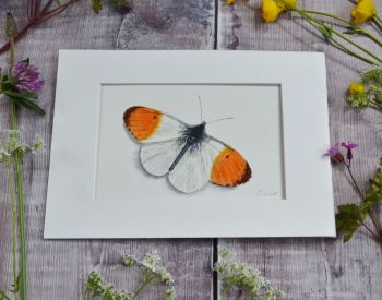 Orange Tip Butterfly, Print.