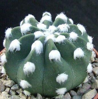 Echinopsis subdenudata 6.5cm
