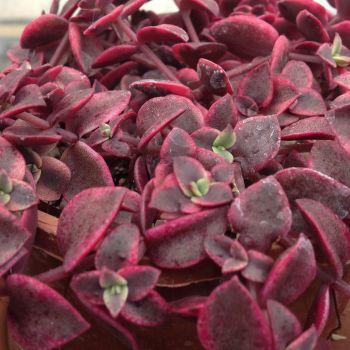 Crassula pelucida marginalis variegata